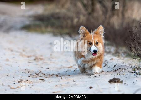 El Welsh Corgi corre alrededor de la playa y juega en la arena - imagen