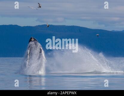 ¡la doble brecha! El comportamiento de violar no es tan común en Alaska. Es más común en los terrenos de invernada de la ballena jorobada en Hawai y Mex