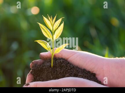 Joven planta verde en las manos. Nueva vida. Concepto de ecología