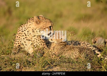 Un Cheetah le desarma su cachorro en la sabana Foto de stock