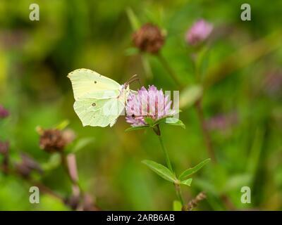 Mariposa de azufre ( Gonepteryx rhamni ) en Clover