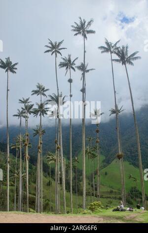 Cerumen (Ceroxylon quindiuense), las palmeras más altas del mundo, el Valle de Cocora, Salento, Colombia.