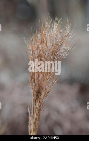 Bushy Bluestem, Andropogon glomeratus, en invierno