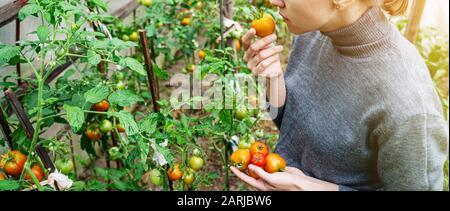Una mujer joven en un suéter gris recoge tomates y huele los frutos en un invernadero. Cosecha de hortalizas concepto