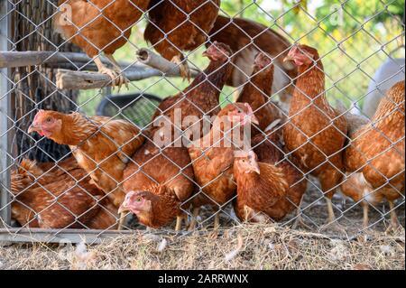 Bandada de Gallinas en coop de pollo en el campo