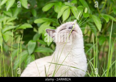 Un gato blanco come una hoja de hierba en el jardín en el verano.