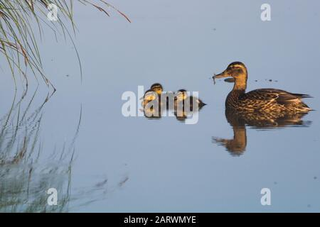 Hermosa inyección de un pato madre con sus lindos patitos nadar en frente