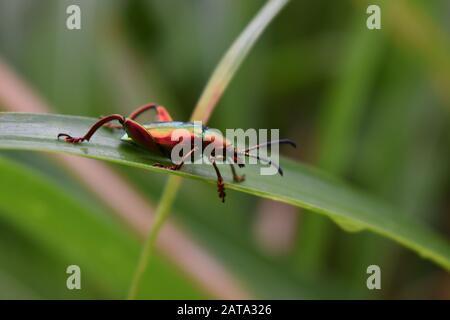 Un escarabajo de color metálico de la familia buprestigiosa que se arrastra sobre una hoja de pasto elefante. Surakarta, Indonesia.