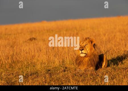 León Africano (Panthera leo) macho en la sabana en Mara North Conservancy, Kenia