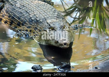 Cocodrilo de agua salada, Leistenkrokodil, Crocodylus porosus