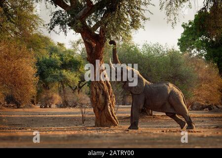 Bush - Elefante Africano Loxodonta africana en Mana Pools National Park en Zimbabwe, de pie en el bosque verde y comer o buscando las hojas. Foto de stock