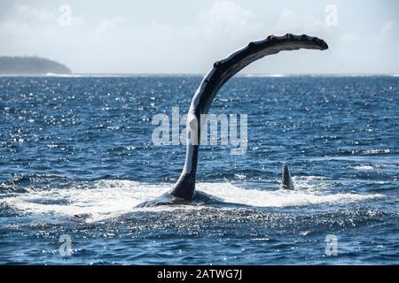 Ballena jorobada (Megaptera novaeangliae) situada a su lado mientras ejecuta una serie de palmadas de aleta pectoral en la superficie del océano. Vavau, Tonga, Pacífico Sur.