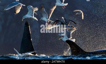Gaviotas y ballenas asesinas / orcas (Orcinus orca) alimentándose en arenque. Kvaloya, Troms, Noruega Octubre