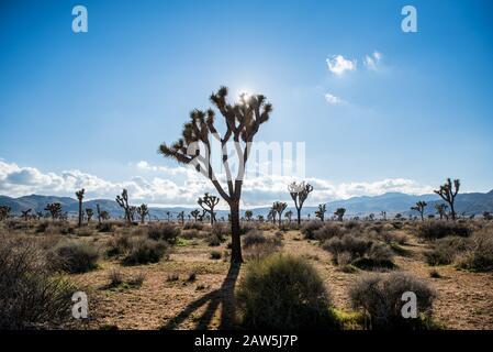 Campo de árboles de Josué enmarcado contra el cielo azul con nubes