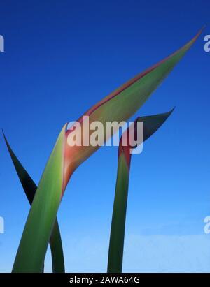 Strelitzia regiane (flor de la grúa o ave del paraíso) se alce en Cerdeña