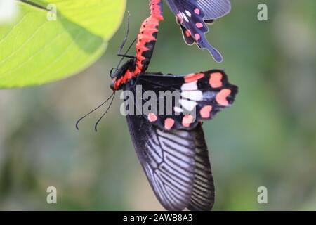 Retrato de una mariposa femenina negra colgando de otra temporada de encuentro de mariposas masculinas en hoja verde, mariposas insectos al aire libre