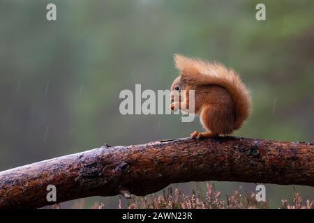 Esquirel Rojo Sciurus vulgaris encaramado en un registro de comer una avellana en clima húmedo y nublado en Escocia Reino Unido