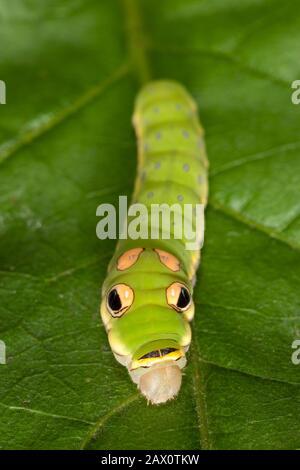 Spicebush Swallowtail Caterpillar (Papilio troilus) 5to instar Caterpillar en hoja de spicebush. Foto de stock