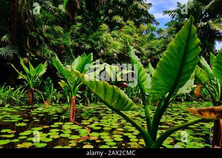 Plantas de plátano de agua que crecen en un pequeño estanque junto con lirios de agua, una palmera inusual adaptada para vivir en agua. Seychelles.