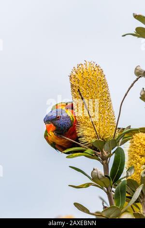 Lirikeet arco iris aislado buscando néctar en un árbol en Sydney