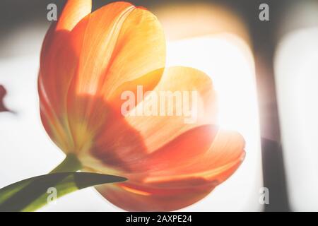 Tulipanes en la retroiluminación, primeros planos Foto de stock