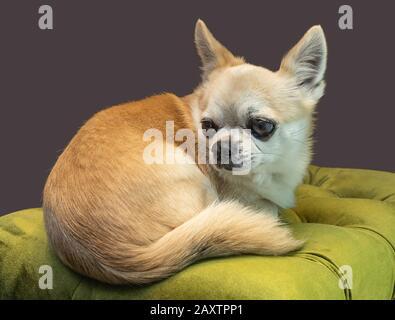 Primer plano retrato de un cachorro de perro chihuahua acostado en un asiento blando Foto de stock