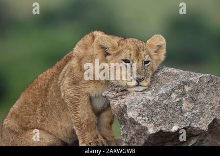 Lion Cub descansando su cabeza sobre rocas. Parque Nacional Masai Mara, Kenia.