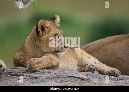 Cute cachorro de león descansando en rocks.Masai Mara National Park, Kenya.