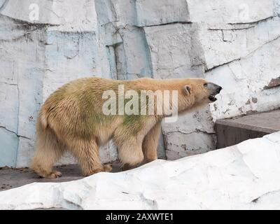 Oso polar (ursus maritimus) en un complejo zoológico