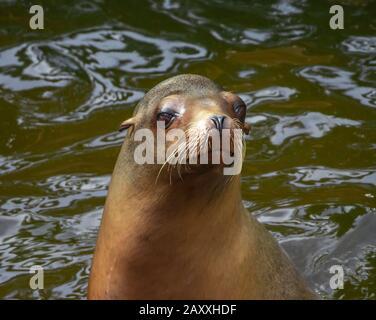león marino en el agua con buena expresión