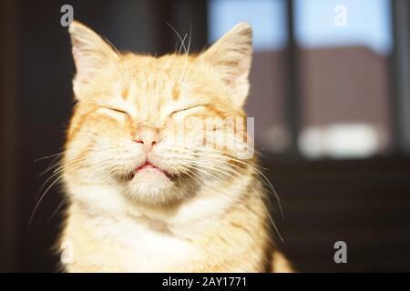 Lindo gato de jengibre cara con ojos cerrados. Retrato de mascotas bajo la luz del sol.