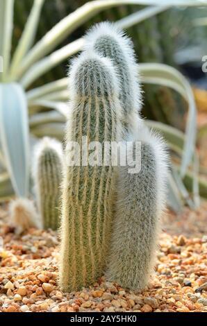 El hombre peruano antiguo cactus de la cordillera de Los Andes Foto de stock