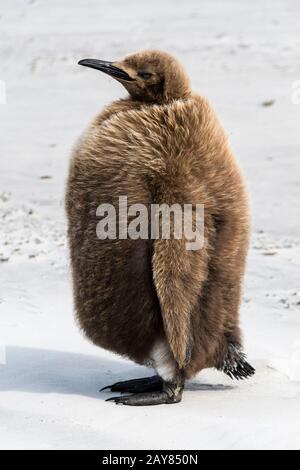 Chick, pingüino rey aptenodytes patagonicus, marrón con plumas en el cuello, la Isla Saunders, Islas Malvinas, Territorio británico de ultramar
