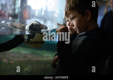 Niño apuntando a los pingüinos nadando en la exposición del acuario