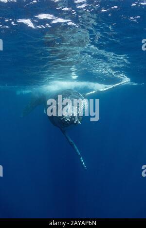 Ballena jorobada, Megaptera novaeangliae, joven hombre acercándose a la cámara, Grupo Nombruka, Islas ha'apai, Reino de Tonga, Pacífico Sur
