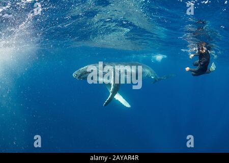 Jorobado de ballena, Megaptera novaeangliae, nadando pasado licencia Tonga guía de ballenas Calvin Mancaau, Vava'u, Reino de Tonga, Pacífico Sur