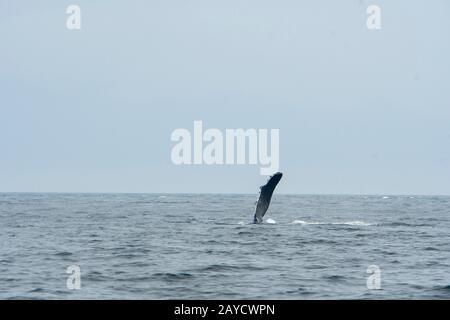 Una ballena jorobada (Megaptera novaeangliae) golpea su pec (aleta) en las aguas del Pasaje Stephens, un canal entre la Isla del Almirantazgo al oeste y th
