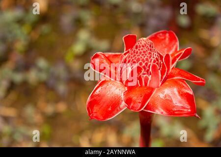 Linterna roja flor tropical jengibre (Etlingera elatior)