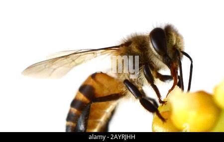 Abeja o abeja melífera o abeja melífera aislada sobre el blanco
