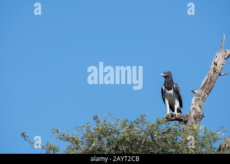 Un águila marcial (Polemaetus bellicosus) está sentada sobre un árbol en la Reserva Nacional de Samburu en Kenia. Foto de stock