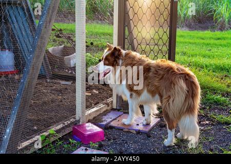 Un perro collie fronterizo se encuentra en la entrada abierta de una carrera de pollo a última hora de la tarde