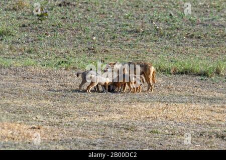 Gato indio (Canis aureus), alimentación femenina y jugar con sus cachorros, Reserva de Tigre de Kanha o Parque Nacional de Kanha-Kisli, India