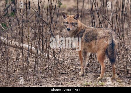 Parque Nacional Keoladeo, Bharatpur, Rajasthan, India. Jackal indio, Canis aureus indicus