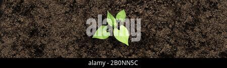 El cultivo de sapling de suelo fértil como un jardín ecológico o agrícola y la agricultura de alimentos o el concepto de jardinería como un compuesto.