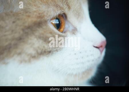 Primer plano de gato doméstico con hermosos ojos marrones mirando hacia fuera