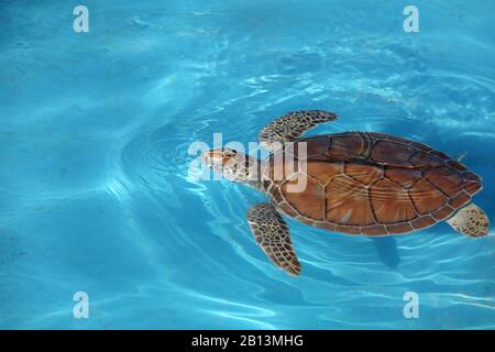Tortuga verde, tortuga de roca, tortuga de carne (Chelonia mydas), natación, Cuba, Cayo largo