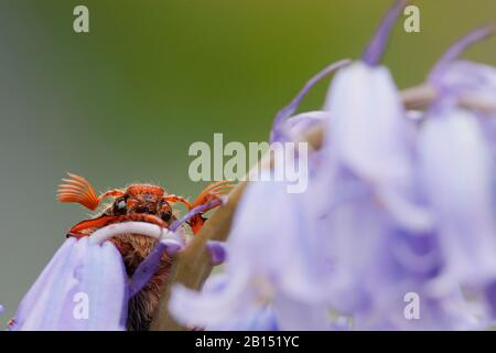 Cockchafer común, Maybug, Maybeetle (Melolontha melolontha), en Bluebell, países Bajos