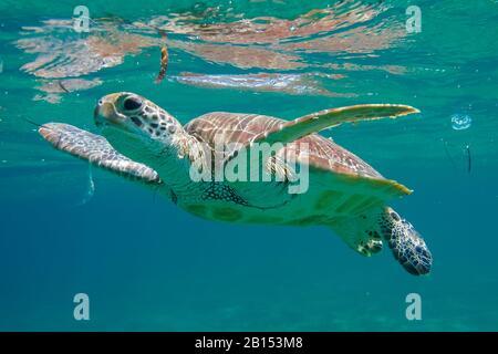 Tortuga verde, tortuga de roca, tortuga de carne (Chelonia mydas), nadar en la bahía de Shaab Abu Dabab, Egipto, Mar Rojo