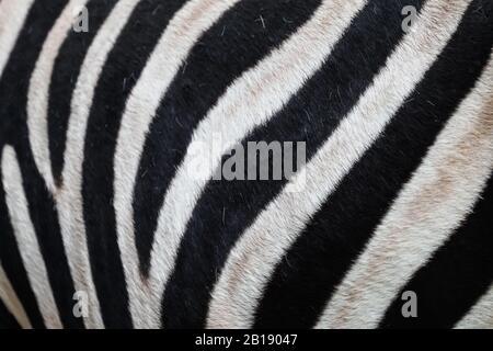 Primer plano o macro de rayas blancas y negras, piel, detalles, patrón en la piel de cebra concepto abstracto naturaleza sobre animales salvajes en África Foto de stock