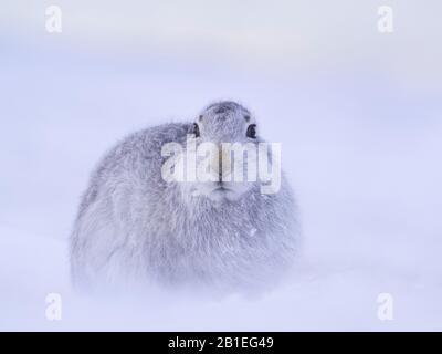 Tras una tormenta de nieve en el Parque Nacional Cairngorms, Escocia, se instala una liebre de montaña (Lepus timidus).